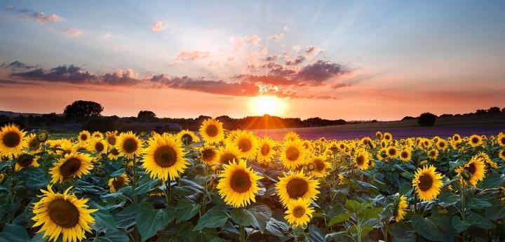 sunflowers and sun (2)